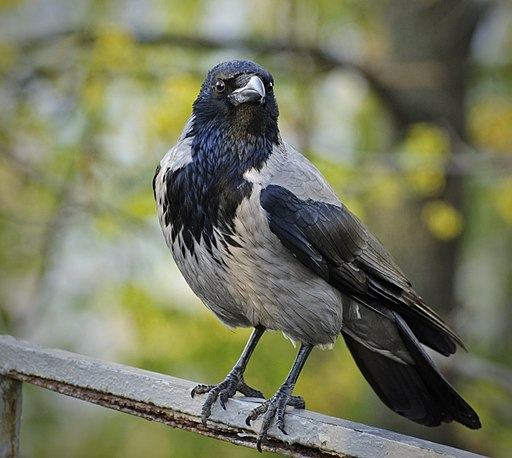 Corvus cornix -perching-8
