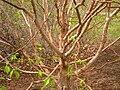 Corylus fargesii, Arnold Arboretum - IMG 6167.JPG