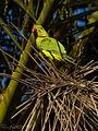 Cotorra de kramer, Psittacula krameri (4447005772).jpg