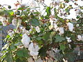 Cotton - പരുത്തി 04.JPG