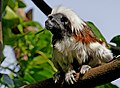 Cotton top tamarin monkey. (12046035746).jpg