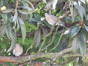 White-winged dove - Pair eating fruits in a nispero tree, Aserrí, San José, Costa Rica