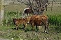 Cows - panoramio (18).jpg