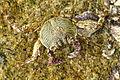 Crabs in Thailand 2013 1404.jpg
