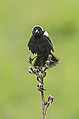 Crazed Bobolink-Male (9055100798).jpg