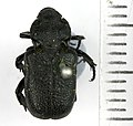 Cremastocheilus armatus Walker, 1866 - 5558342101.jpg