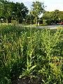 Crepis pulchra sl1.jpg