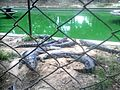 Crocodiles at Zoo.jpg