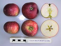 Cross section of Crimson Beauty of Bath (LA 65A), National Fruit Collection (acc. 1975-303).jpg
