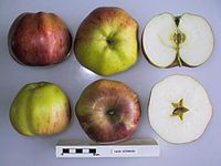 Cross section of New German, National Fruit Collection (acc. 1948-040).jpg