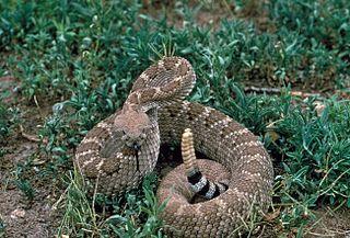 Western diamondback rattlesnake species of reptile