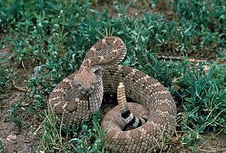 Western diamondback rattlesnake - Image: Crotalus atrox USFWS