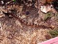 Crotalus horridus CDC-2.png