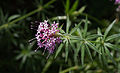 Crucianella stylosa - Jardin des Plantes.jpg