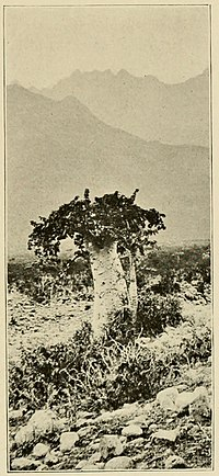 Cucumber Tree (Dendrosicyos).jpg