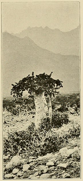 Description de l'image  Cucumber Tree (Dendrosicyos).jpg.
