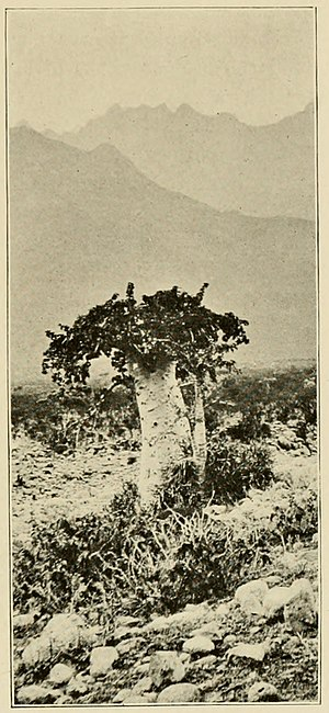Socotra - An 1890s photograph of endemic tree species Dendrosicyos socotrana, the cucumber tree, by Henry Ogg Forbes