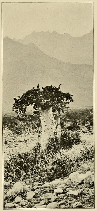 Socotra - An 1890s photograph of endemic tree species Dendrosicyos socotranus, the cucumber tree, by Henry Ogg Forbes