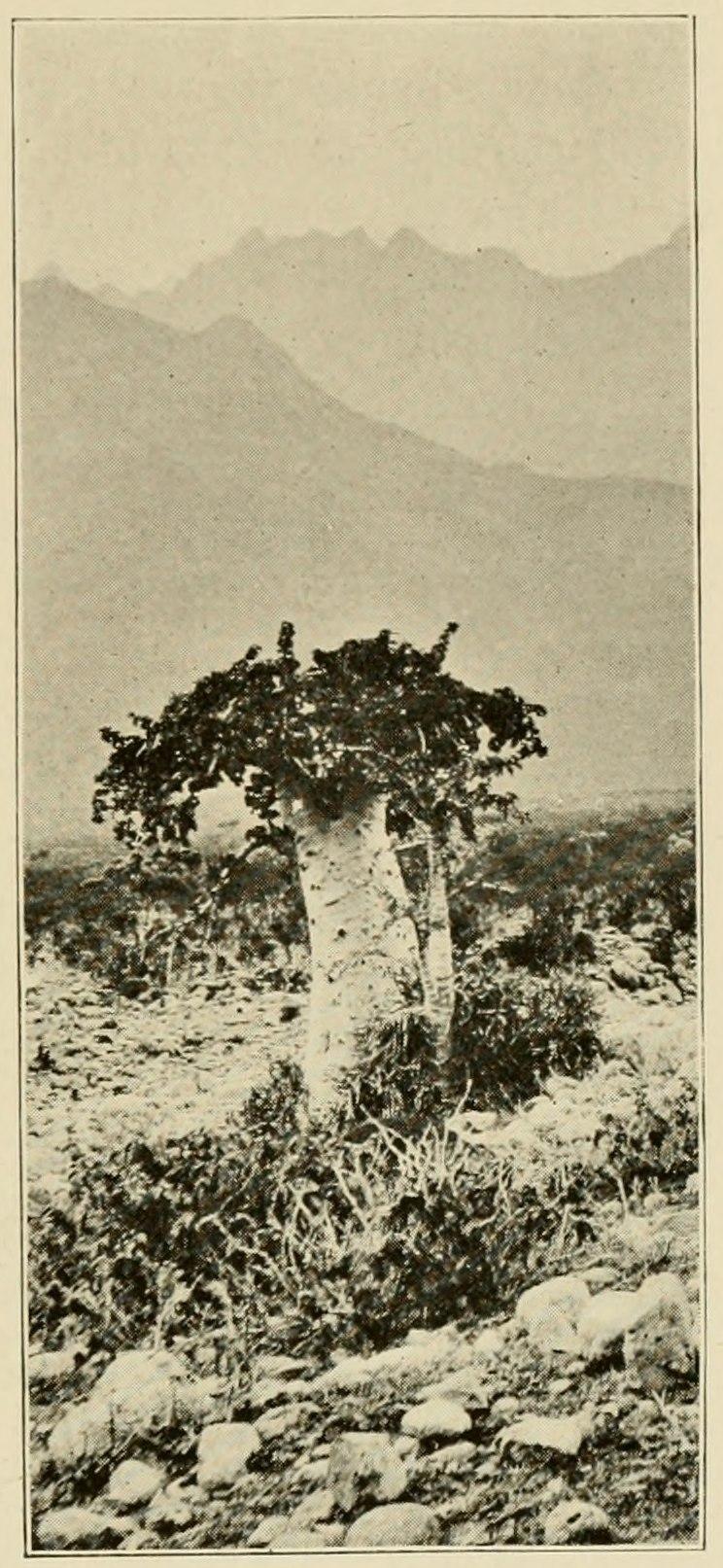 Cucumber Tree (Dendrosicyos)