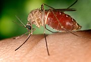 Culex mosquitoes are the vectors for West Nile Virus