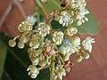 Cupaniopsis anacardioidesP7150014.jpg