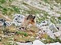 Curious Marmot (117055487).jpeg