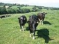 Curious cows - geograph.org.uk - 1376078.jpg