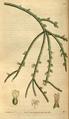 Curtis's Botanical Magazine, Plate 3080 (Volume 58, 1831).png