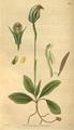 Curtis's Botanical Magazine, Plate 3086 (Volume 58, 1831).png