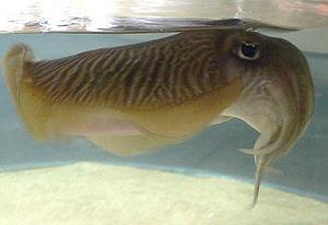 Tekhelet - Image: Cuttlefish