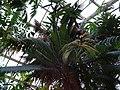 Cycas Zeylanica.jpg