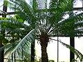 Cycas circinalis 3.jpg