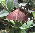 Cydalima perspectalis, brown color variant.JPG
