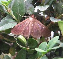 Box-tree Moth, UK - Wiki