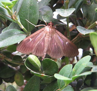 Cydalima perspectalis - Brown color variant