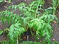 Cynara cardunculus - Royal Botanical Garden, Madrid.JPG