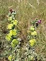 Cynoglossum officinale sl27.jpg