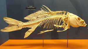 Cypryinus carpio skeleton - National Museum of Natural History, United States - DSC08530.JPG