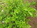 Cyrilla racemiflora 'Graniteville'.jpg