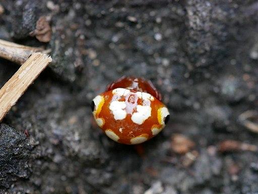 Cyrtarachne yunoharuensis akairotrnhndms02