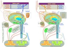 """Sprouting (=""""gemmazione"""" delle terminazioni nervose) • VULVODINIA.INFO 220px-DN1_2ModelDolor"""