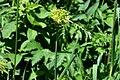 DSC 0375 Allium obliquum.jpg