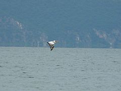 Dalmatian Pelican over Lake Prespa.jpg