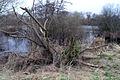 Damaged tree on Beeston Pond, Attenborough - geograph.org.uk - 721189.jpg
