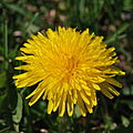 DandelionFlower.JPG