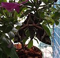 Daphnis nerii (Thailand, Nonthaburi, Bang Bua Thong, Soi Mu Ban Bua Thong, 26.i.2015) (D. Kruger) adult 1.jpg