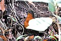 Dark-backed Wood-quail (Odontophorus melanonotus) (5198407854).jpg