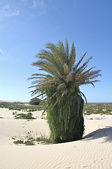 Date palm in Boa Vista, 2010 12.JPG