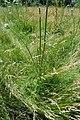 Daucus carota - leaf, stem, flowerbud (18217727294).jpg