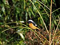 Daurian Redstart Male ジョウビタキ (241512611).jpeg